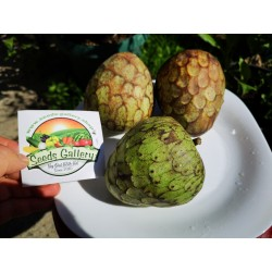 Cherimoya, Zucker Apfel Samen (Annona cherimola) 1.95 - 3