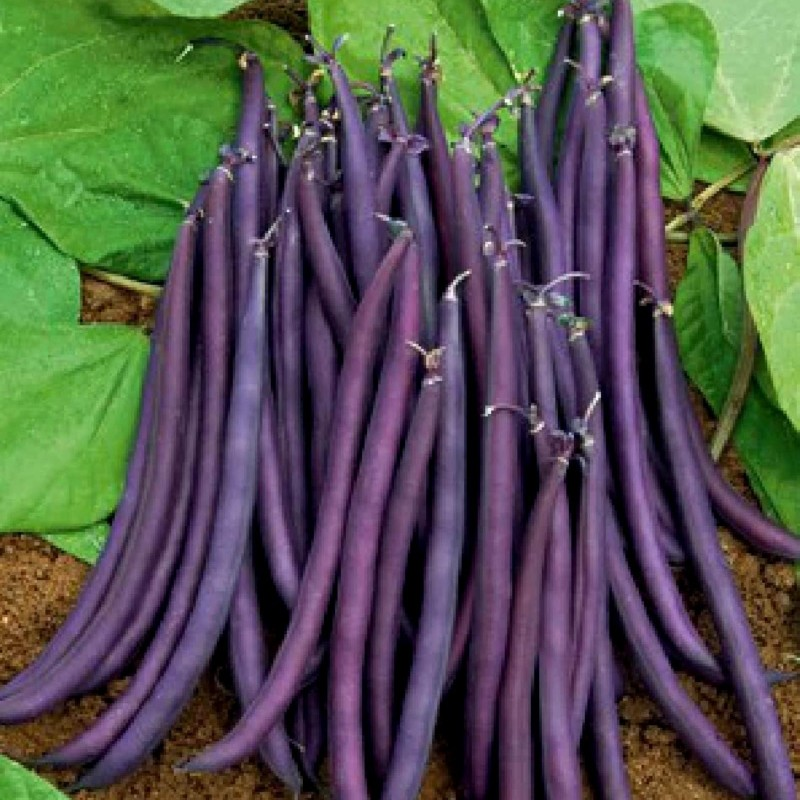 Mature Beans On A French Bean Plant Phaseolus Vulgaris Legume Crop With High Yield Stock Photo