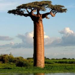Baobab Seeds (Adonsonia digitata) 1.85 - 2