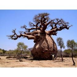 Sementes De Baobá (Baobab) (Adonsonia digitata) 1.85 - 4