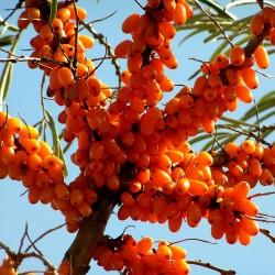 Σπόροι Ιπποφαές (hippophae rhamnoides) 1.85 - 2