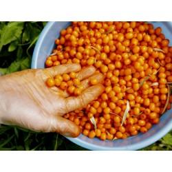 Semi di olivello o olivello spinoso (hippophae rhamnoides) 1.85 - 3