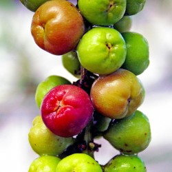 Seetraube Samen - Saatgut 2.5 - 2