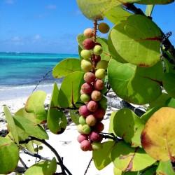 Seagrape Baygrape Seeds (Coccoloba uvifera) 2.5 - 1