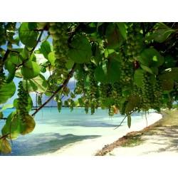 Σπόροι Σταφύλι θάλασσας (Coccoloba uvifera) 2.5 - 3