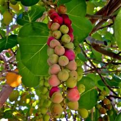Sementes da Uva-da-praia (Coccoloba uvifera) 2.5 - 7