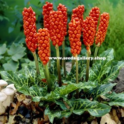Graines de Arum tacheté ou le Gouet tacheté (Arum maculatum) 2.25 - 1
