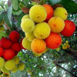 Strawberry Tree Seeds (Arbutus Unedo) 1.75 - 2