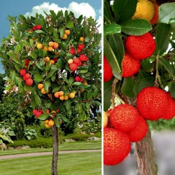 Strawberry Tree Seeds (Arbutus Unedo) 1.75 - 4