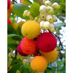 Strawberry Tree Seeds (Arbutus Unedo) 1.75 - 3