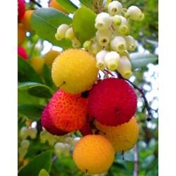 Sementes de Medronheiro (Arbutus unedo) 1.75 - 3