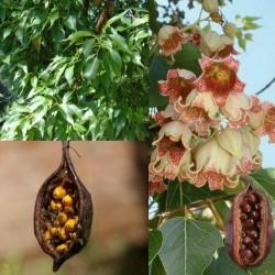 Sementes de Perna-de-moça, Branquiquito (Brachychiton populneus) 1.95 - 1
