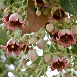 Sementes de Perna-de-moça, Branquiquito (Brachychiton populneus) 1.95 - 2