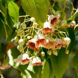 Sementes de Perna-de-moça, Branquiquito (Brachychiton populneus) 1.95 - 5