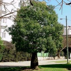 Sementes de Perna-de-moça, Branquiquito (Brachychiton populneus) 1.95 - 3