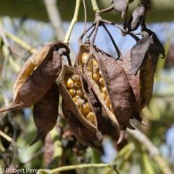 Sementes de Perna-de-moça, Branquiquito (Brachychiton populneus) 1.95 - 6