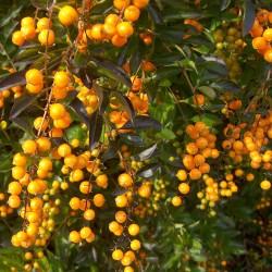 Golden Dewdrop Seeds (Duranta erecta) 1.75 - 4