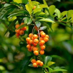 Sementes Pingo-De-Ouro (Duranta erecta) 1.75 - 1