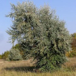 Sementes de árvore do paraíso, oleastro (Elaeagnus angustifolia) 2.95 - 3