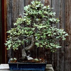 Sementes de árvore do paraíso, oleastro (Elaeagnus angustifolia) 2.95 - 4