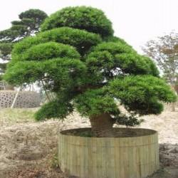 Japanese Cedar Seeds 1.5 - 4