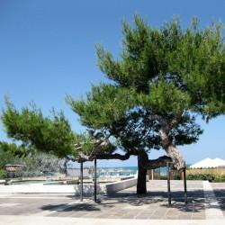 Jerusalem Pine Seeds 1.75 - 1