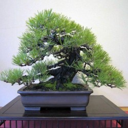 Jerusalem Pine Seeds 1.75 - 2