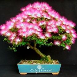 Persian Silk Tree, Pink Silk Tree Seeds 2.5 - 1