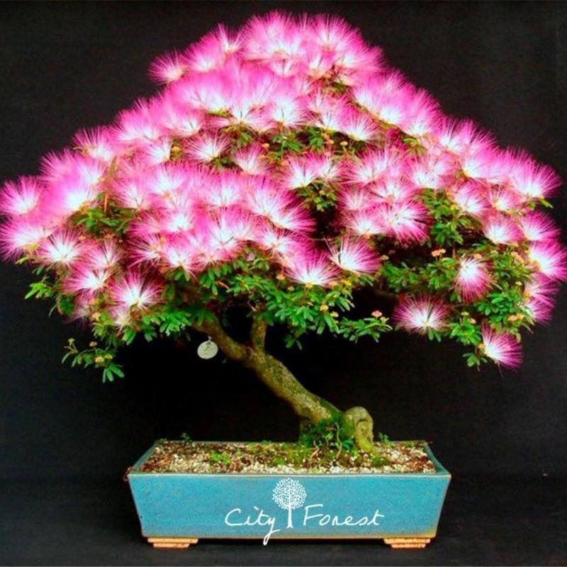 Seidenbaum, Seidenakazie, Schlafbaum Samen 2.5 - 1