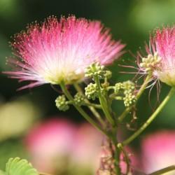 Sementes de Árvore-da-seda Acacia nemu  2.5 - 2