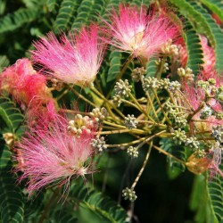 Sementes de Árvore-da-seda Acacia nemu  2.5 - 5