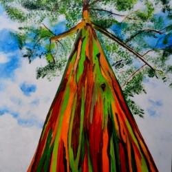 Regenbogen-Eucalyptus Samen, Rainbow Eucalyptus 3.5 - 1