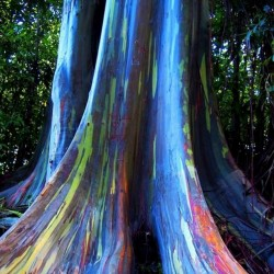 Sementes Eucalipto Arco-iris, Colorido 3.5 - 2