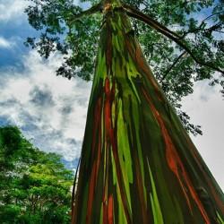 Graines Eucalyptus arc-en-ciel 3.5 - 3