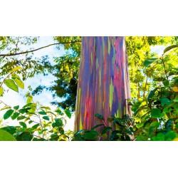 Sementes Eucalipto Arco-iris, Colorido 3.5 - 5