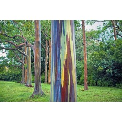 Sementes Eucalipto Arco-iris, Colorido 3.5 - 6