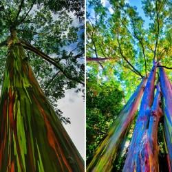 Sementes Eucalipto Arco-iris, Colorido 3.5 - 7