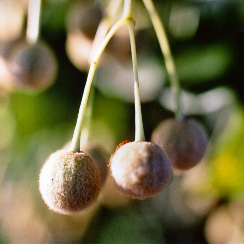 Sementes De Árvores Tilia 1.85 - 1
