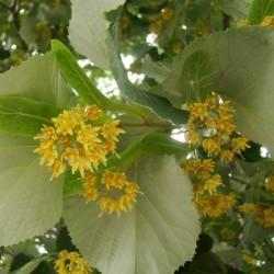 Sementes De Árvores Tilia 1.85 - 2