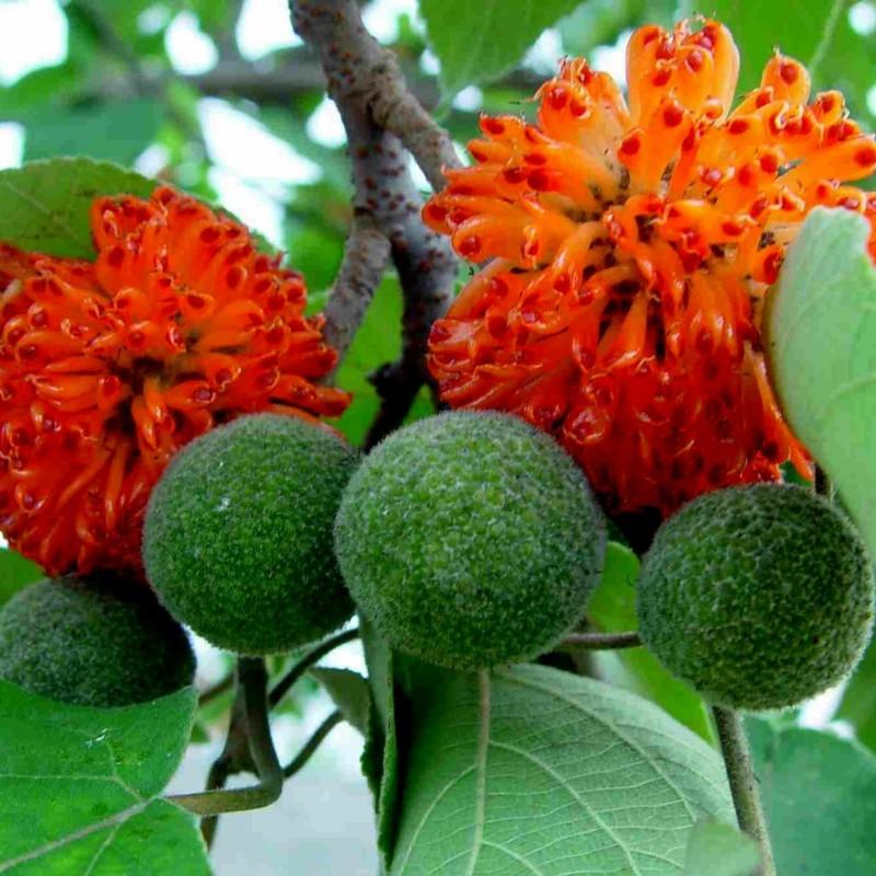 Pappersmullbärsträd Frön 1.55 - 1
