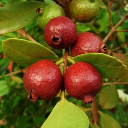 Erdbeer-Guave Samen 1.5 - 2