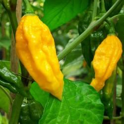 Sementes de Fatali Pepper Pimenta 2.5 - 2