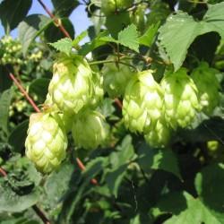 Semi di LUPPOLO (Humulus lupulus) 1.85 - 2