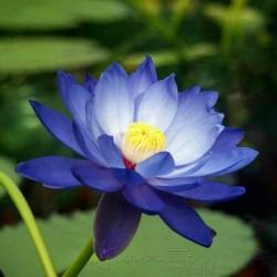 Sacred Lotus Seeds mixed colors (Nelumbo nucifera) 2.55 - 3