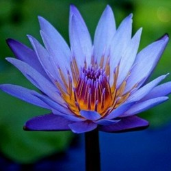 Sacred Lotus Seeds mixed colors (Nelumbo nucifera) 2.55 - 2