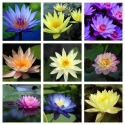 Sementes de Lotus cores misturadas (Nelumbo nucifera) 2.55 - 1