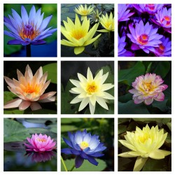 Sacred Lotus Seeds mixed colors (Nelumbo nucifera) 2.55 - 1