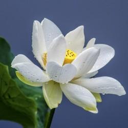 Sementes de Lotus cores misturadas (Nelumbo nucifera) 2.55 - 6