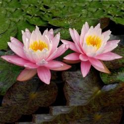 Graines de Lotus sacré couleurs mélangées (Nelumbo nucifera) 2.55 - 9