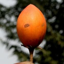 Spanska Visnja Seme – Bakul (Mimusops elengi) 2.95 - 1
